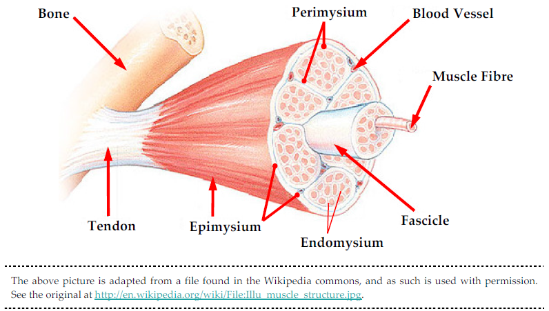 Illustraion of the myofascia